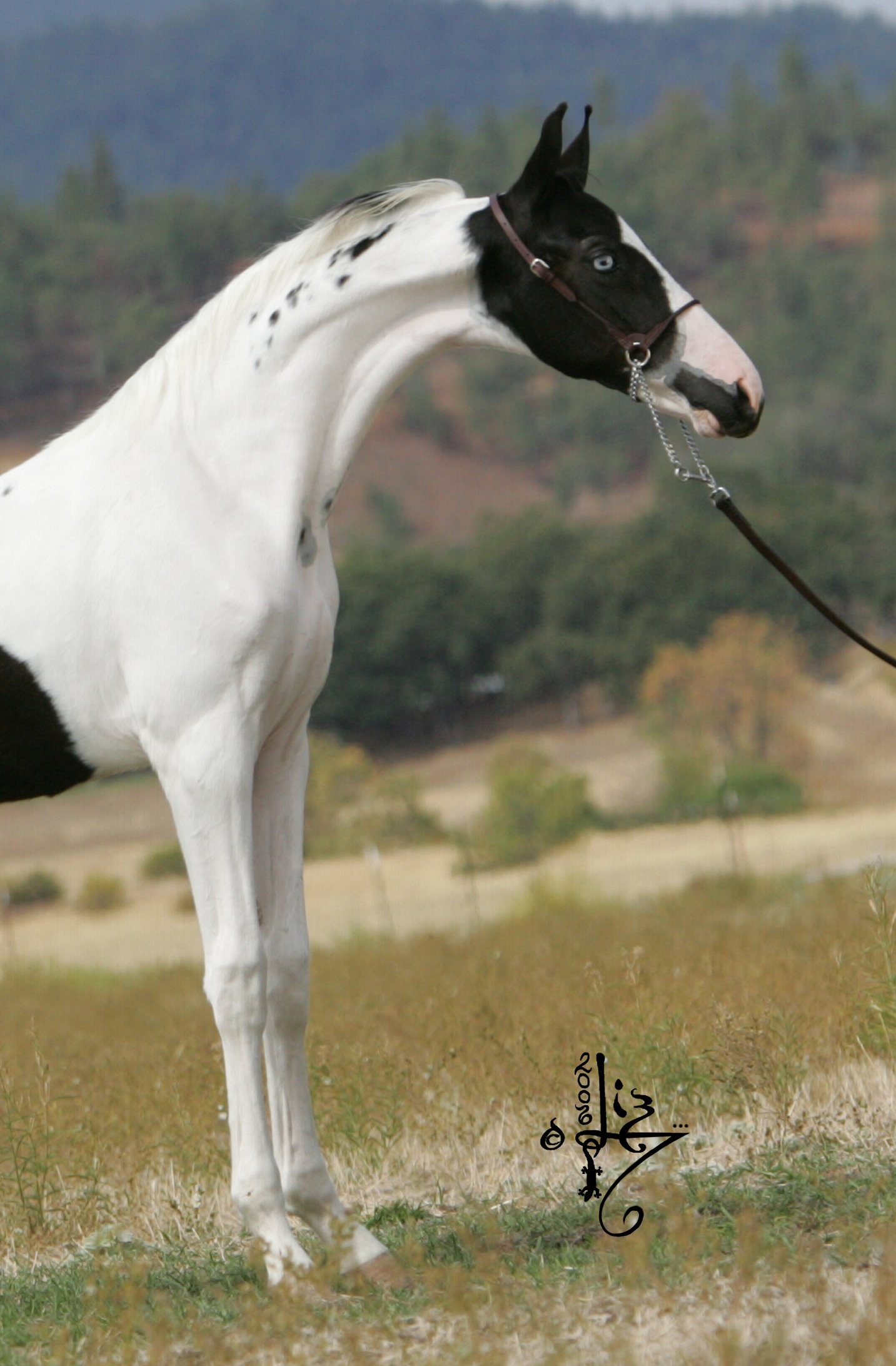 Saddlebred American pinto pictures